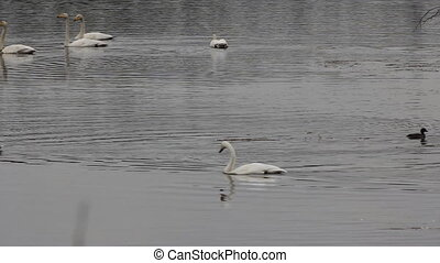 Whooper Swans on migration stop-over. Adult birds in...