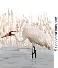 Whooping Crane - adult - Whooping Crane - Grus americana -...