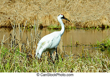 Whooping Crane Close-up Full View - Close-up Full View of...