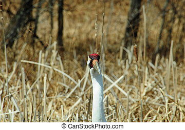 Whooping Crane Head View