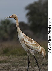 Whooping Crane Juvenile - Whooping Crane juvenile searching...