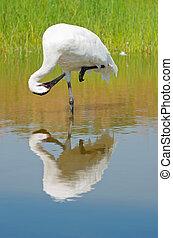 Whooping Crane Preening in Marsh - whooping crane or grus...
