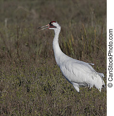 Whooping Crane searching for food in a green meadow. Aransas...