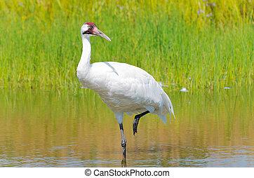 Whooping Crane Wading in Marsh - whooping crane or grus...