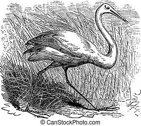 Whooping cranes (Grus Americana) vintage engraving.Old...