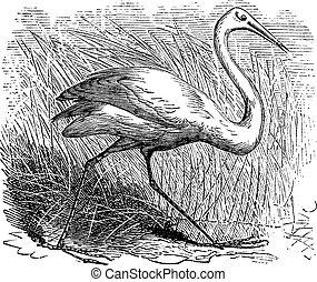 Whooping cranes (Grus Americana) vintage engraving