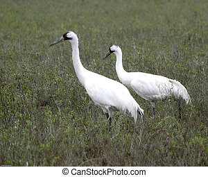 Whooping Cranes - Pair of whooping cranes on their territory...