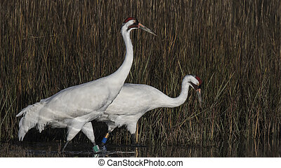 Whooping Cranes searching for food in a green meadow....