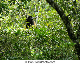 Who's There - This is a photo of a monkey in a tree looking...