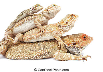Whose Your Daddy - Bearded Dragon Family in a pile