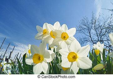 Whote daffodils in full sunlight, blue sky