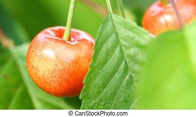 wiśnia, owoc, czerwony