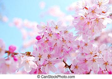 wiśniowe kwiaty, podczas, wiosna