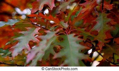 wiatr, closeup, powolny, barwny, jesień, leaves., przenosić...