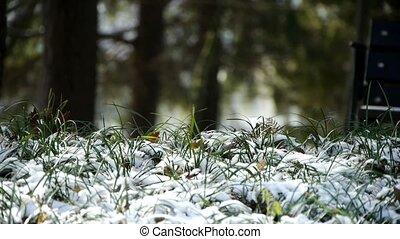 wiatr, pokryty, kołysząc, trawa, śnieg