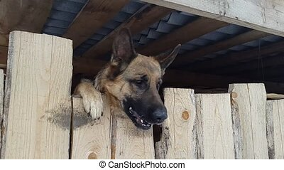 Wicked shepherd barks from behind a fence