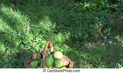 Wicker basket full of organic pear fruits under fruiter tree...