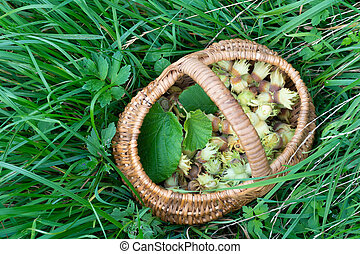 Wicker basket with freshly picked hazelnuts standing on grass.