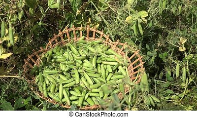 Wicker dish full of pea plant pods and villager woman harvest. 4K
