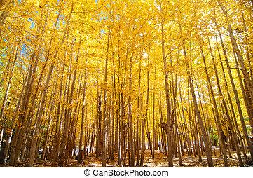 Wide angle fall Aspen Trees