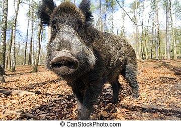 Beautiful wild boar (Sus Scrofa) in national park Het Aardhuis at the Hoge Veluwe in the Netherlands