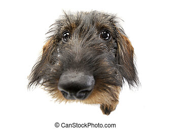 Wide angle portrait of an adorable Dachshund