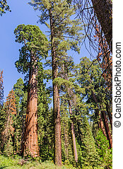 Wide angle shot of a giant Sequoia