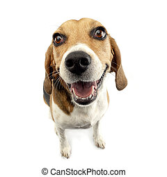 Wide angle shot of an adorable Beagle, studio shot, isolated...