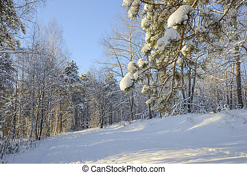 wide angle shot of the crown of pine tree and birch forest in winter, pervouralsk, urals, Russia