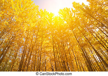 Wide angle view aspen Trees