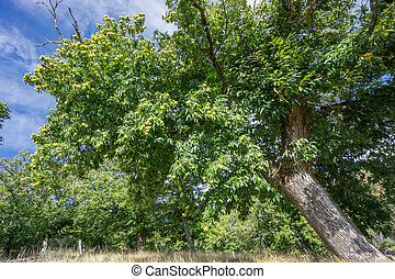 Wide angle view of chestnut trees