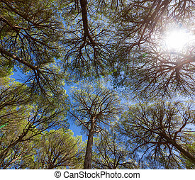 Wide angle view of pine trees