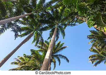 Wide angle view of tall palm trees