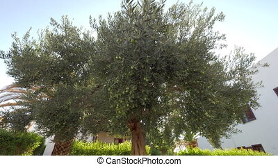 Wide-branching olive tree in the garden - In summer garden....