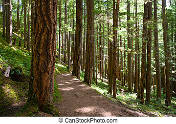 Wide Dirt Trail Winds Through Sunny Forest in the Pacific Northwest