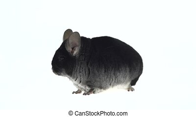 Wide full body side view of a cute grey chinchilla isolated...