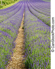 Wide low angle view of lines in lavender field landscape