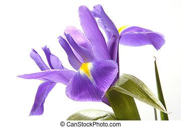 blue iris - Wide open blue iris with yellow spots on petals ...