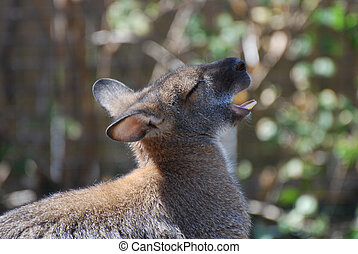 Wide Open Mouth on a Wallaby - Mouth open on a cute wallaby...