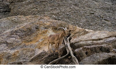 Wide shot. Barbary Sheep standing on a rocky hill. Professional shot in 4K resolution. 037. You can use it e.g. in your commercial video, medical, business, presentation, broadcast