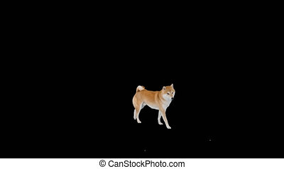 Wide shot. Cute shiba inu puppy searching for food and eating, Alpha Channel. Professional shot in 4K resolution. 049. You can use it e.g. in your medical, commercial video, business, presentation, broadcast