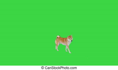 Wide shot. Cute shiba inu puppy searching for food and eating on a Green Screen, Chroma Key. Professional shot in 4K resolution. 049. You can use it e.g. in your medical, commercial video, business, presentation, broadcast