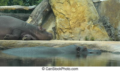 Wide shot. Hippopotamus having some rest during the day. Professional shot in 4K resolution. 037. You can use it e.g. in your commercial video, medical, business, presentation, broadcast