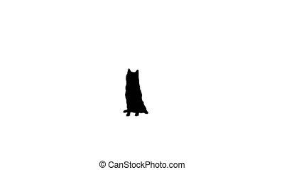 Japanese Shiba Inu dog sitting, Alpha Channel - Wide shot. ...
