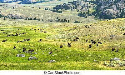 wide shot of a bison herd grazing in yellowstone
