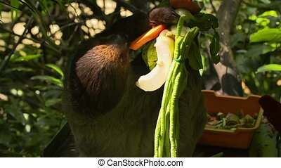 Wide shot of a sloth hanging out and eating - Wide shot of...