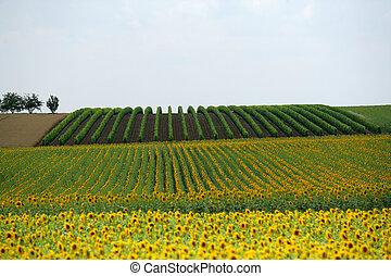 Wide shot of a sunflower field