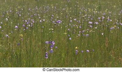 Blue Bell wildflowers - Wide shot of Blue Bell wildflowers