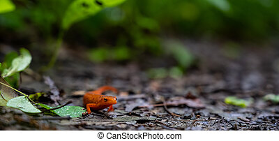 Wide Shot of Red Spotted Newt on dirt trail in the Smokies