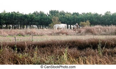Wide shot of white horse and gray horse outdoor walking around on a sunny day in a green lounge field in Portugal.